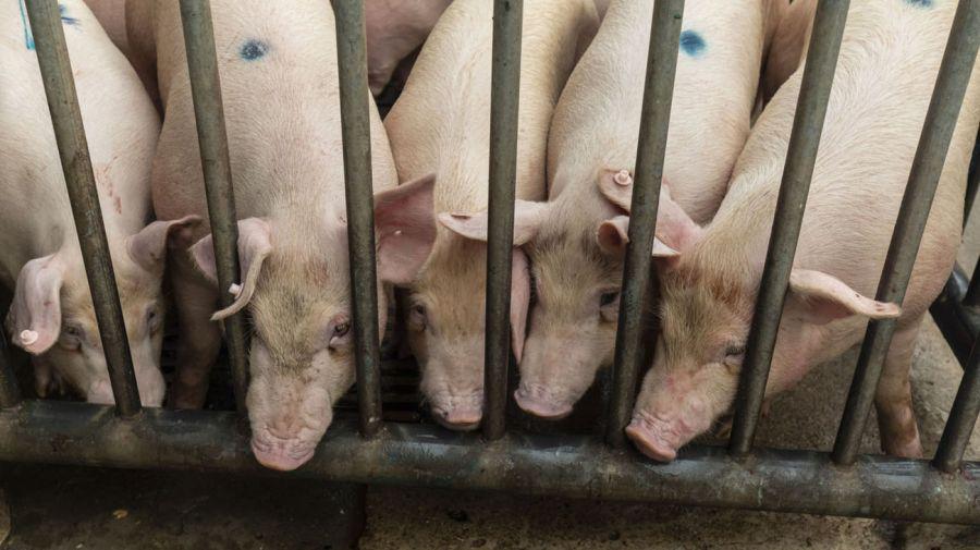 Cerdos gigantes China