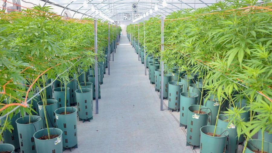 plantaciones de cannabis