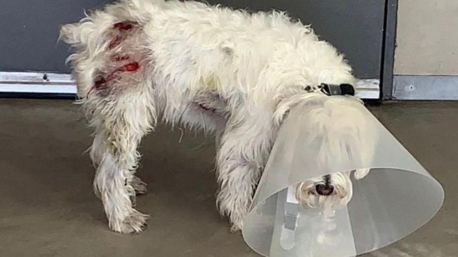 perro atacado por carpinchos