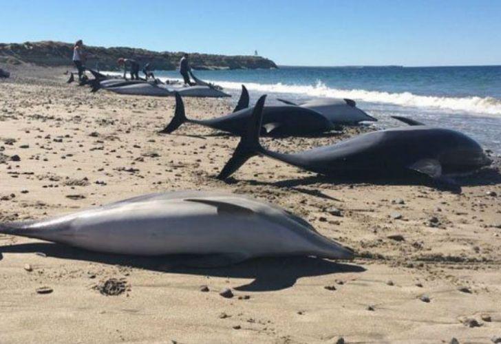 De los 61 ejemplares de delfines, fallecieron 49.