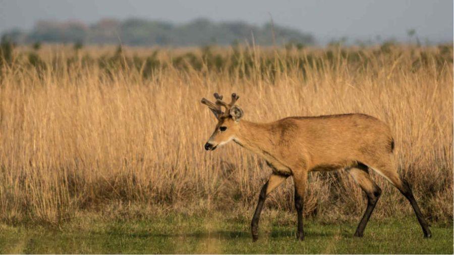 Ciervo de los pantanos: en vías de extinción