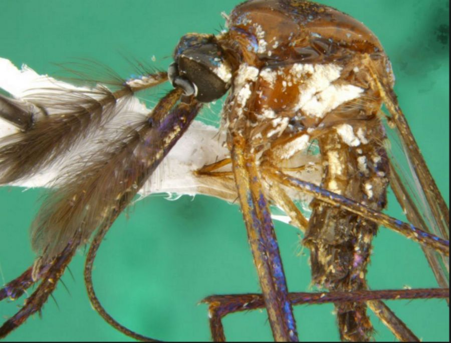 1106_aegysmosquito