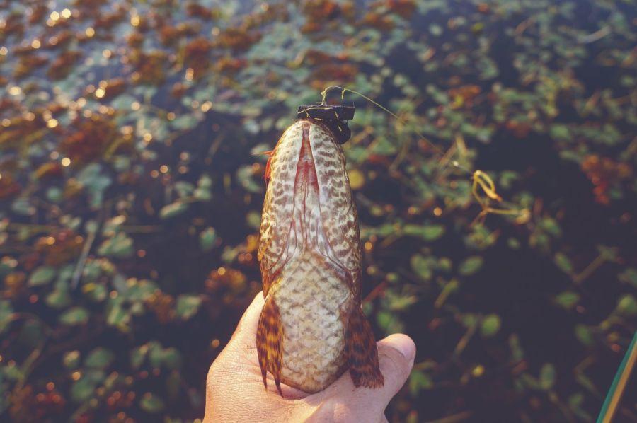 0203_En Corrientes los dorados y las tarariras no se resisten a la mosca