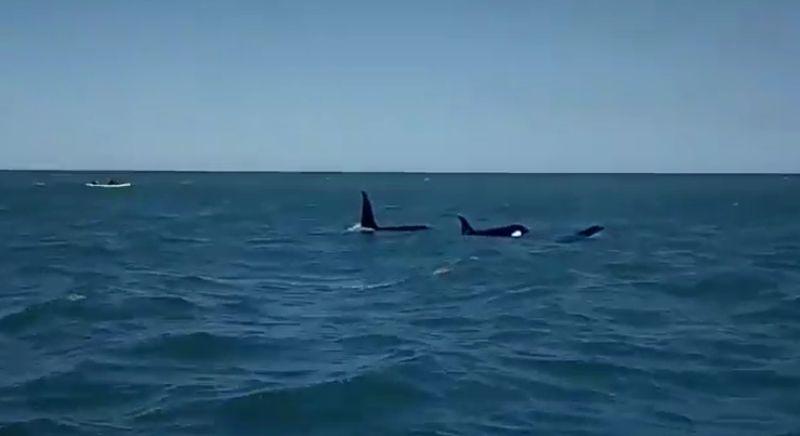 Orcas en Mar del Plata