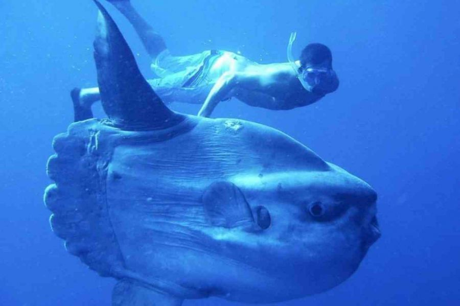 Buceadores se topan con un pez luna gigante