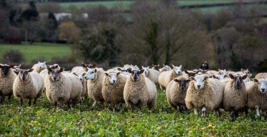 No-Deal Brexit Could Be Final Straw for U.K.'s Sheep Industry