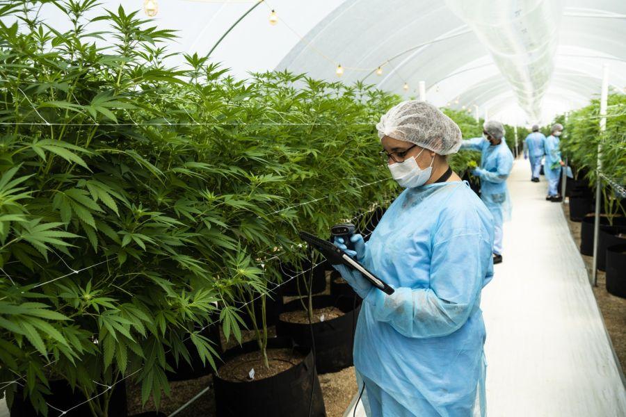 Cannabis Production As Uruguay Bets On Medical Marijuana Exports
