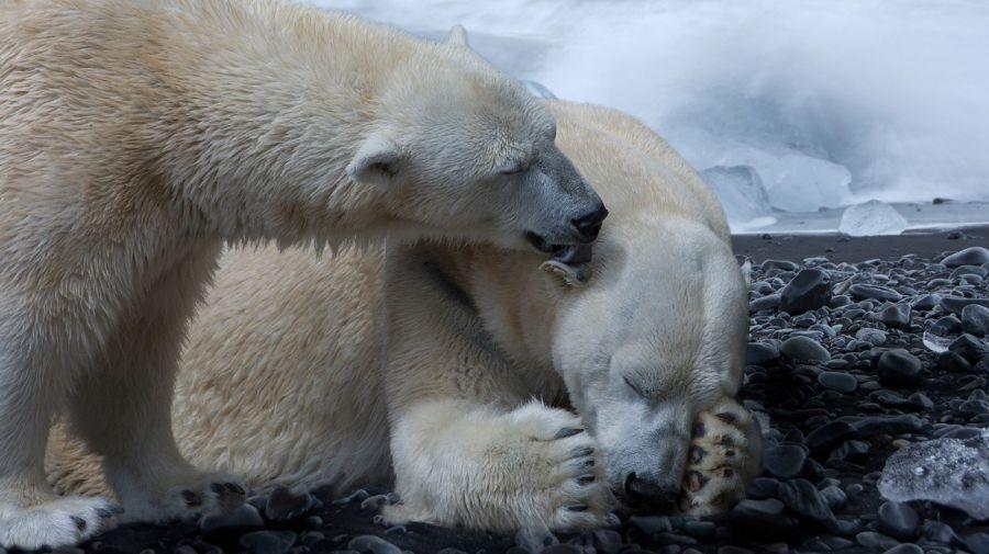 oso polar peligro extincion g_20190424