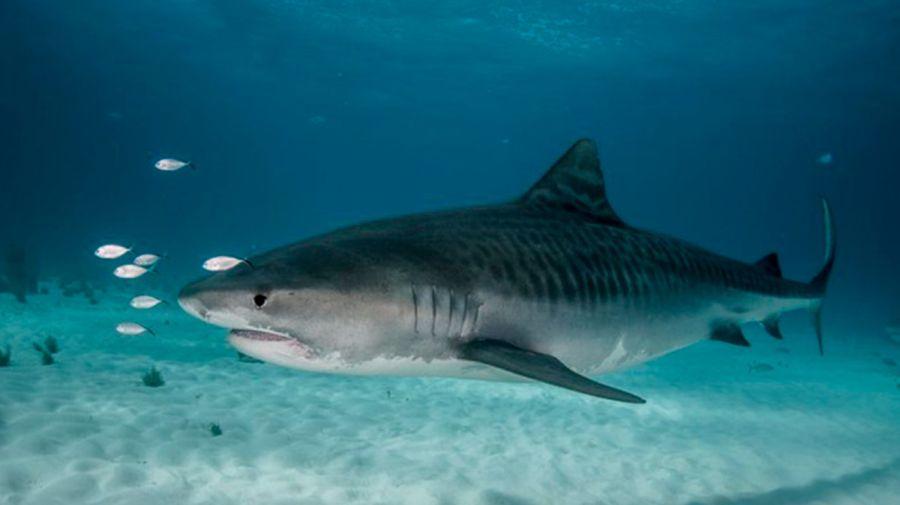 0531 tiburones más peligrosos del mundo