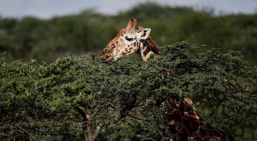 Jirafa reticulada de Kenya_g 15082019
