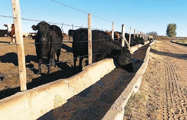 Luego de la recría, los animales pasan a los corrales hasta superar los 400 kilos.