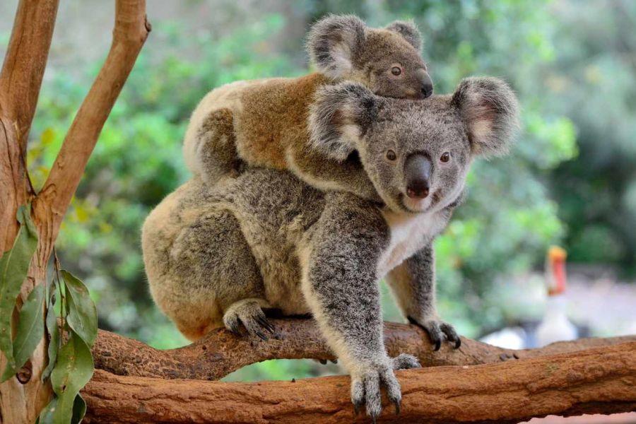 0212_koala_extinción