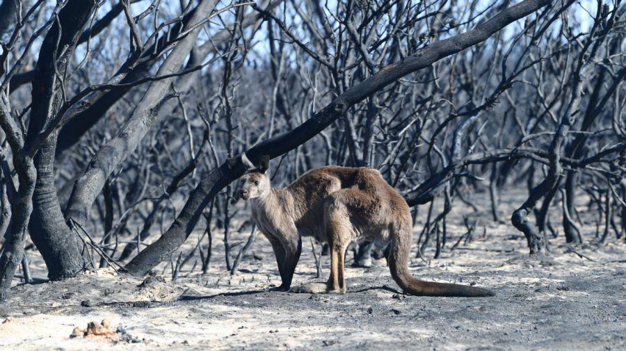 incendios australia koala dpa