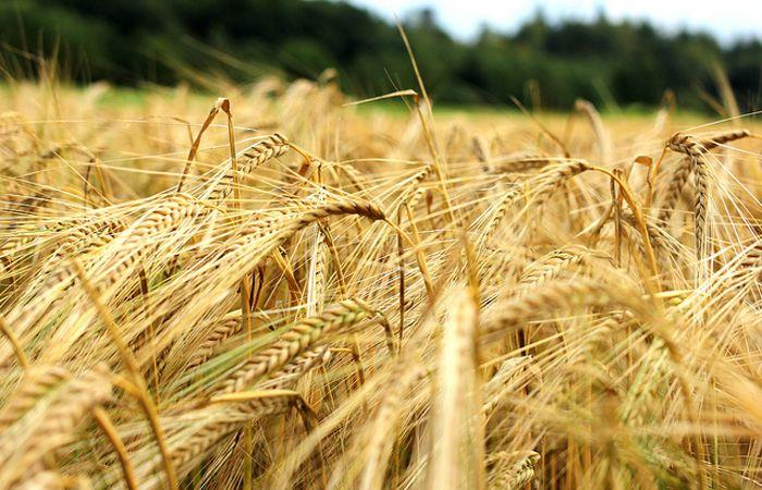 CIFRAS. Finalizó la cosecha de cebada con 3,3 millones de toneladas