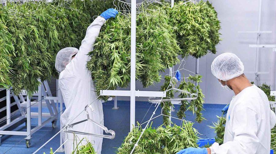 20200314_cannabis_chubut_conicet_cedoc_g.jpg