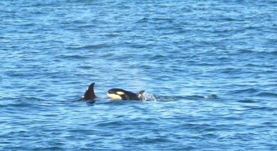 0422_orcas2