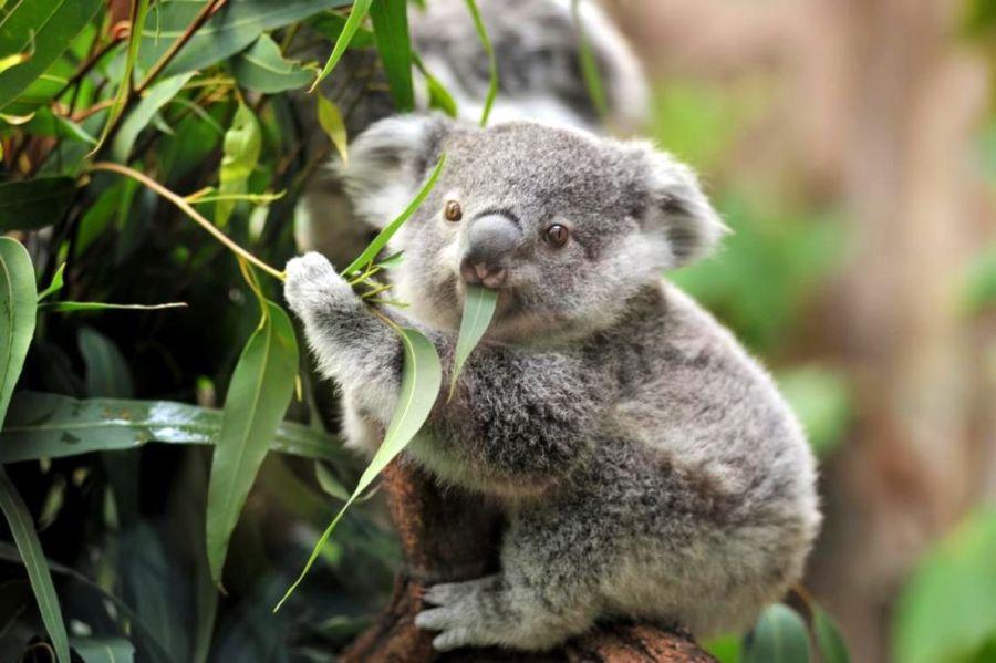 1505_koalas