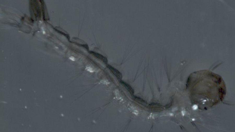 2105_larva_dengue