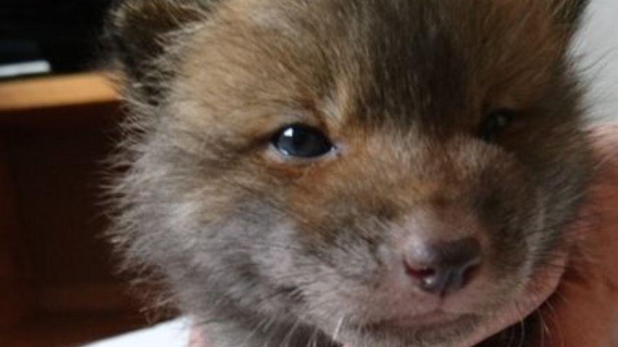 perro zorro 1 27052020