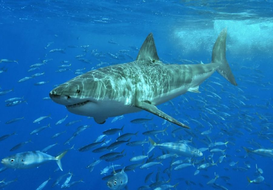 1006_tiburon_blanco