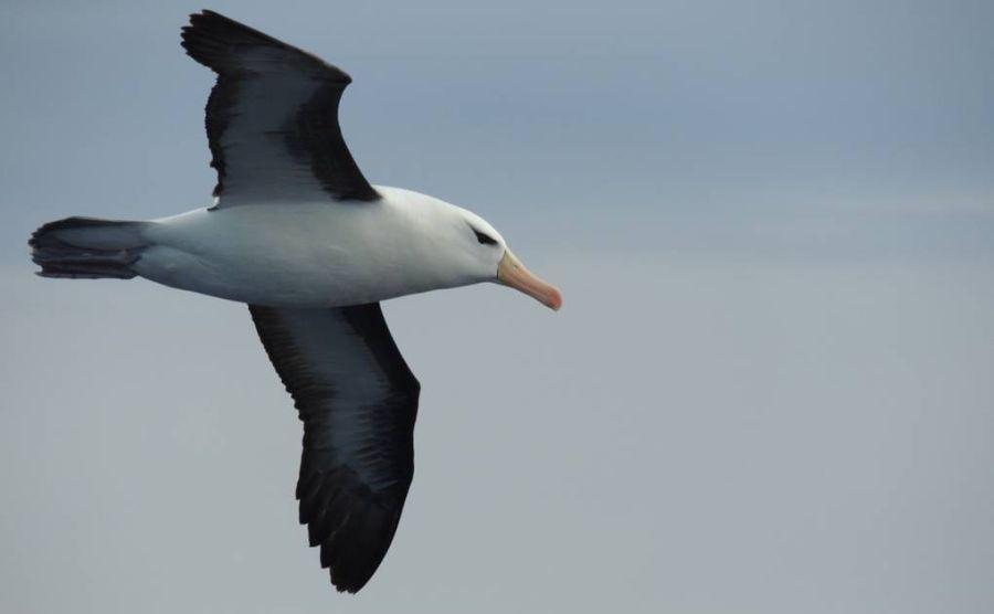 1906_albatros