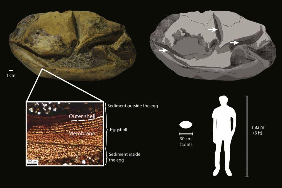 1806_fosil_huevo