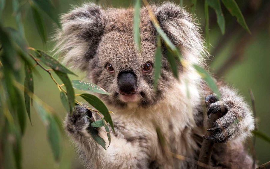 0707_koalas_extincion