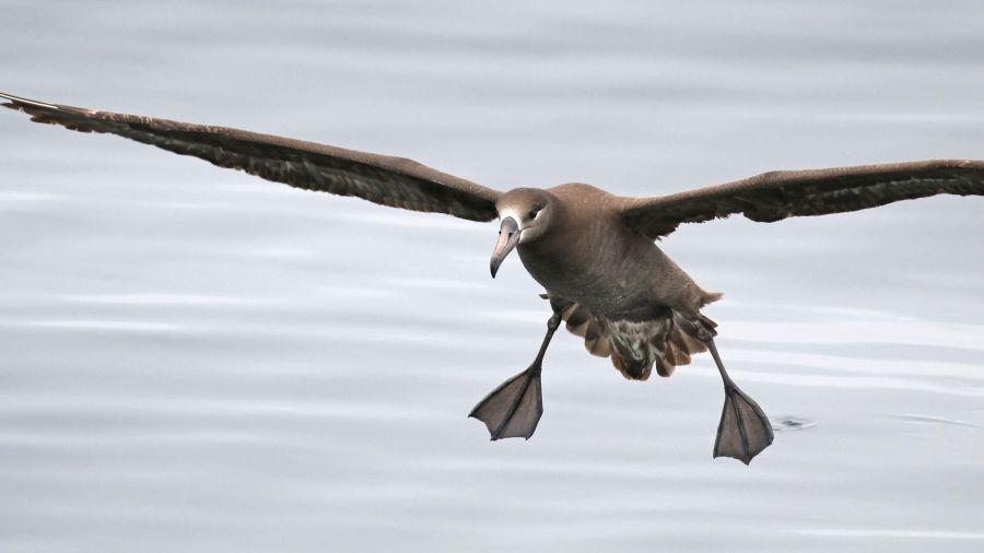 0727_albatros