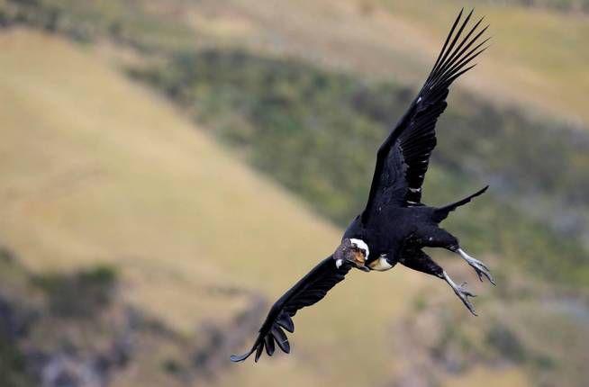 0727_condor andino