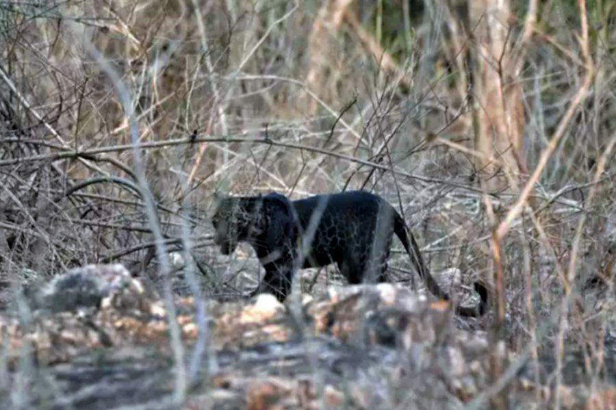 0308_leopardo_negro