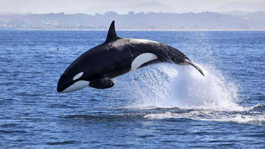 1809_orcas_ataques