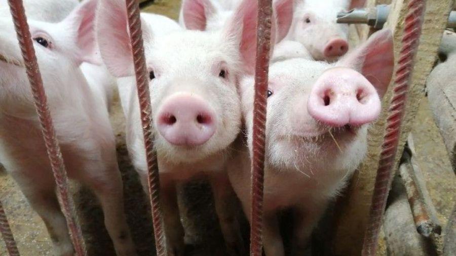 Granjas de cerdos: las protestas dilataron el acuerdo del Gobierno con China