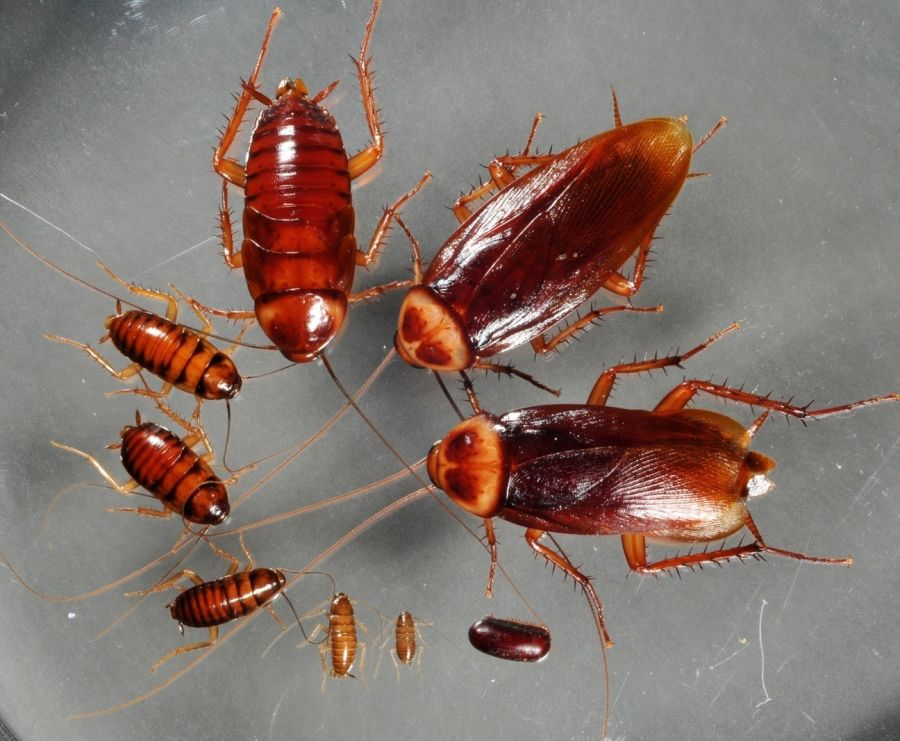 1026_cucarachas