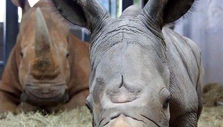 1027_rinoceronteblancodisney