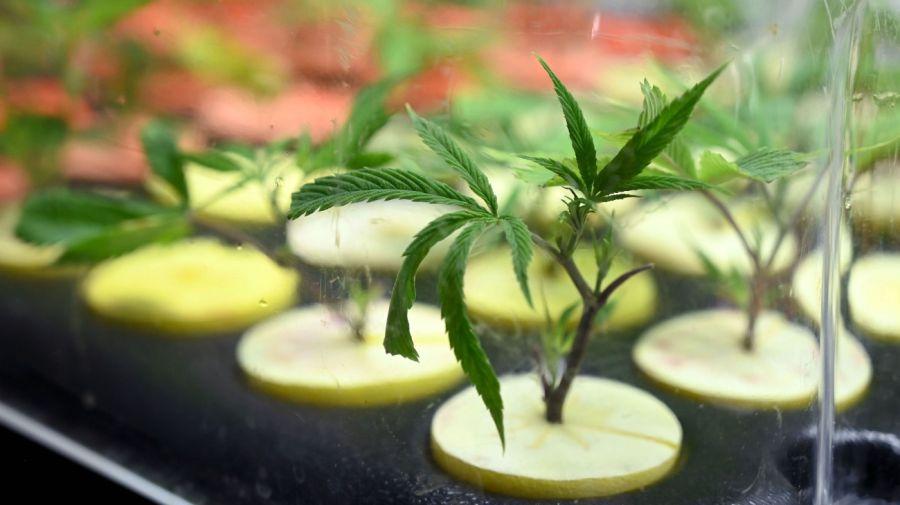 Cannabis medicinal g_20201116