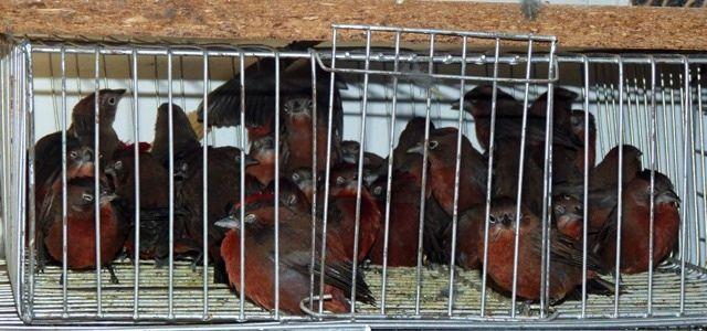1711_aves