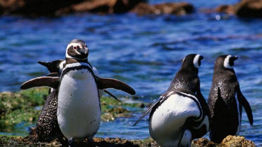 1125_pinguinosmagallanes