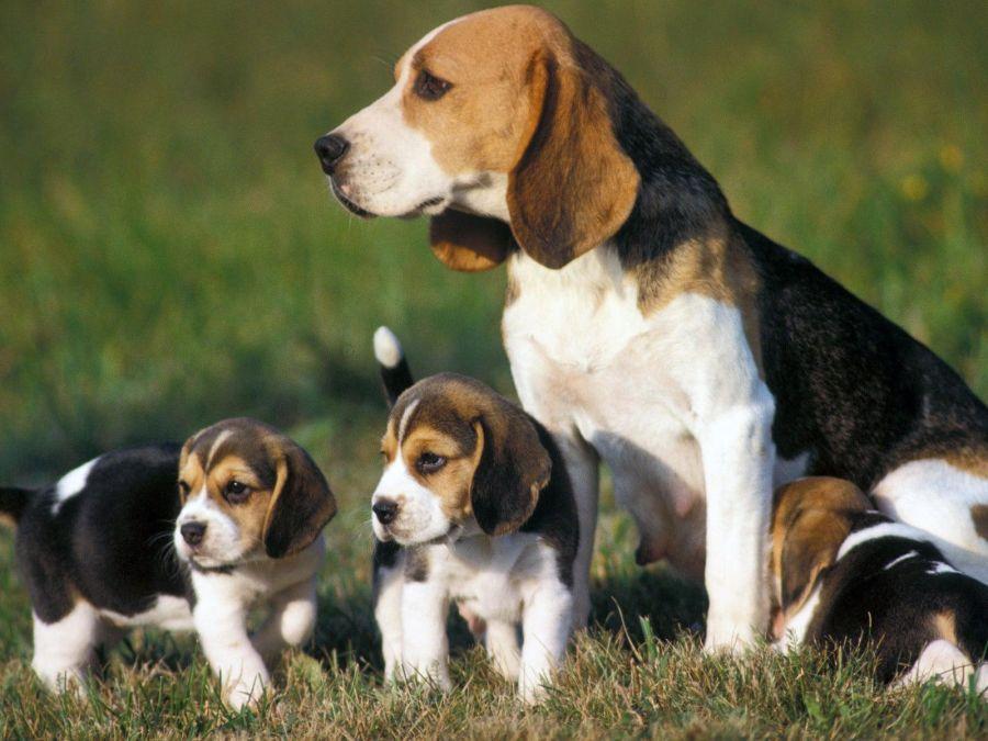 1221_beagle