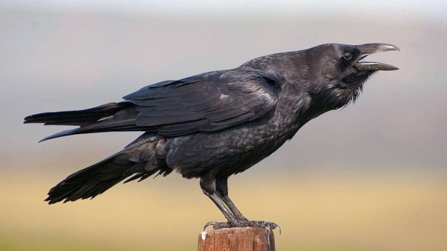 1228_cuervos
