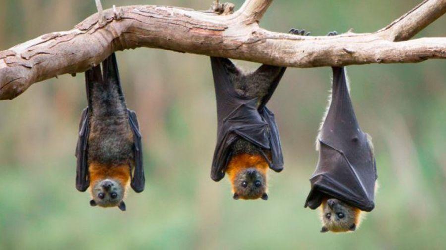 murciélago fructifero 20210115