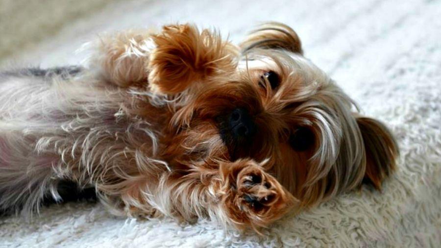 0129_yorkshire terrier