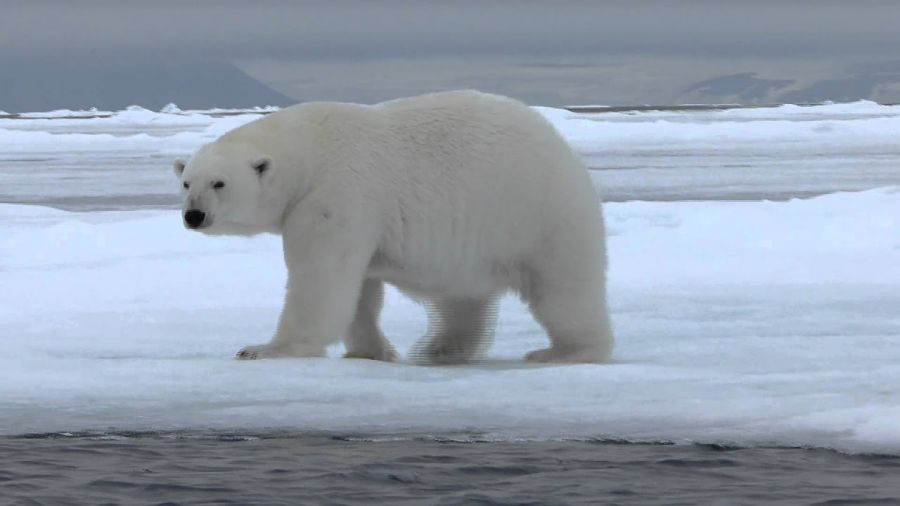 0305_osos polares