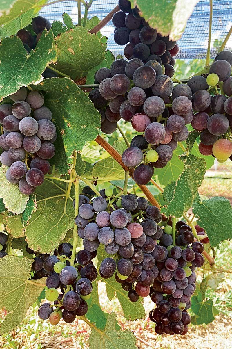 Uvas de la bodega Terra Camiare