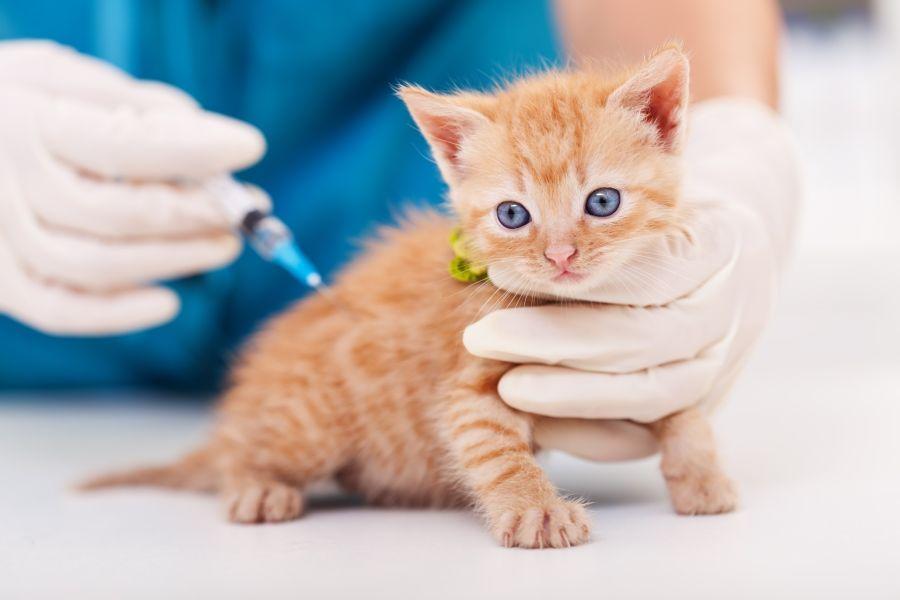 La vacuna contra la rabia se aplica todos los años a los perros y gatos durante toda la vida del animal. Recordar que es obligatoria.