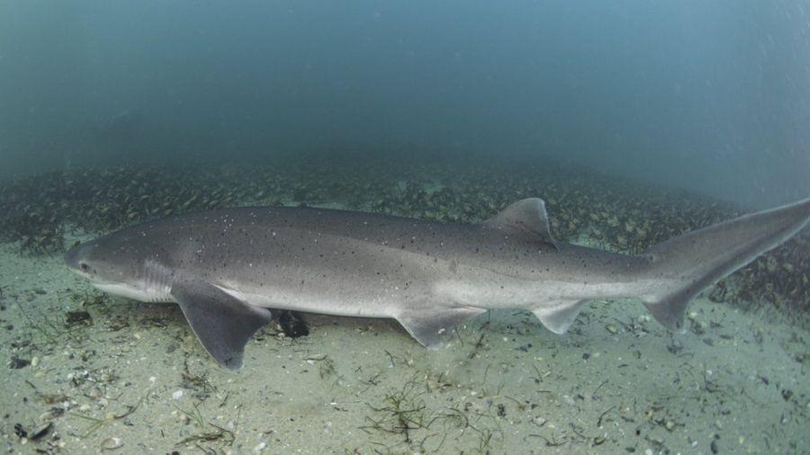 0702_tiburon gatopardo