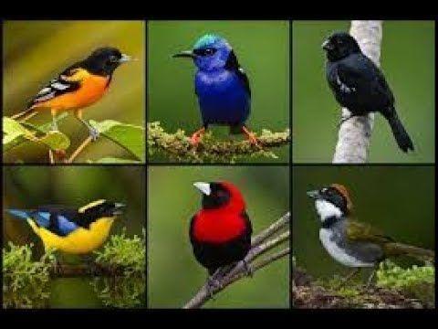 0723_pájaros cantores