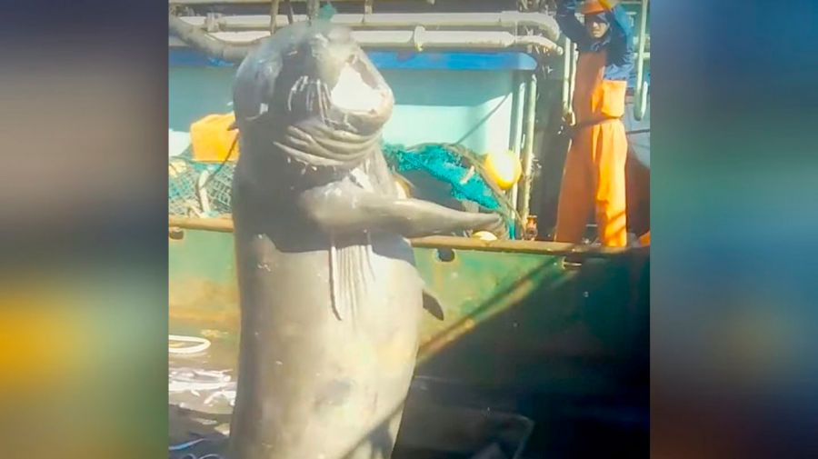 elephant seal boat killed