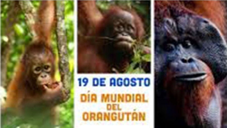 0818_orangután