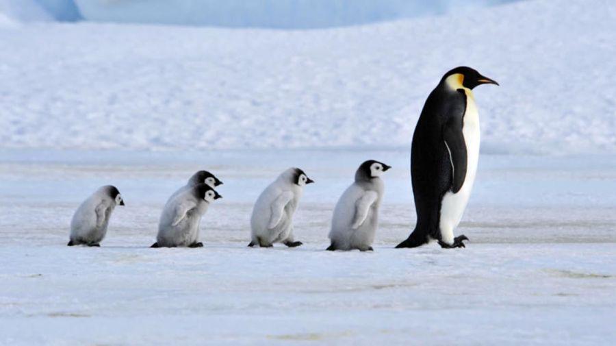 pingüino emperador en la Antártida 20210824
