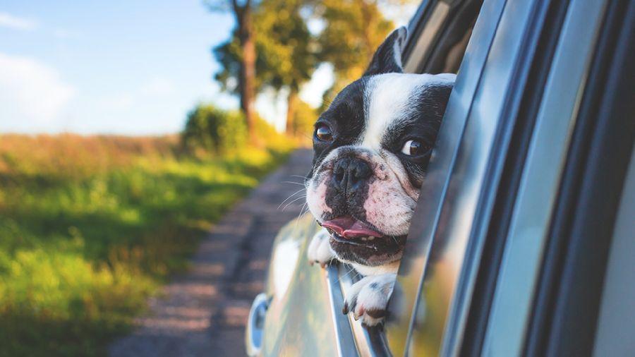 Mascotas en el auto
